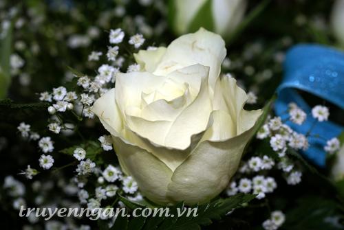 hoa-hồng-trắng